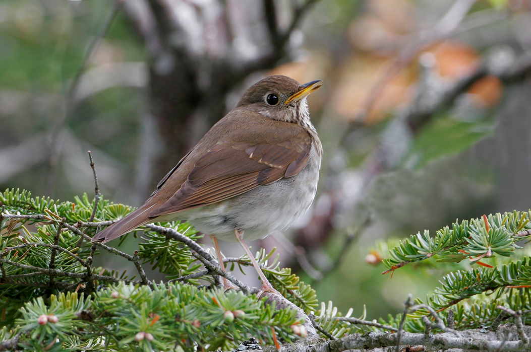 Bicknell's Thrush, a brown bird with yellow bill and white belly, on a fir branch