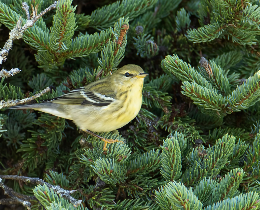Grafton Forest a Haven for Birds