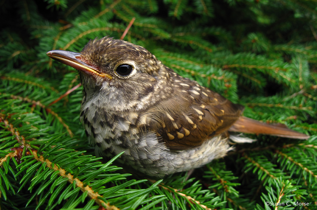 small brown and white bird in balsam fir branches