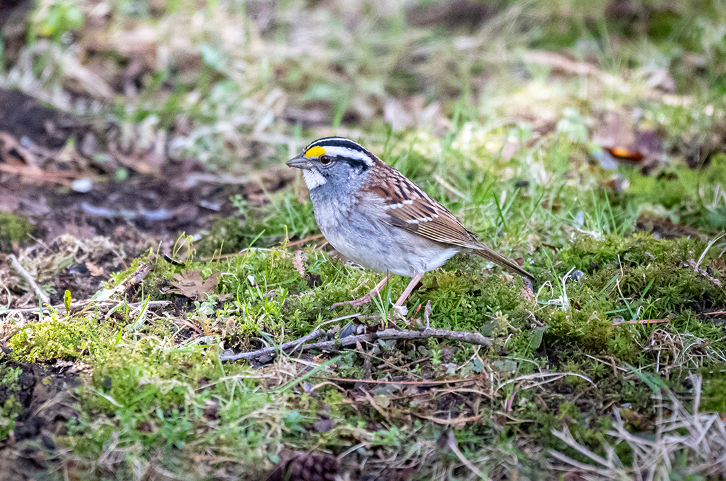 small white-throated sparrow with black and white stripes on head and yellow eyebrows perched on the ground