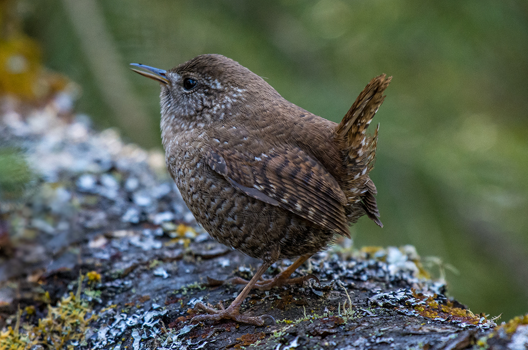small brown winter wren facing away on lichen-covered log